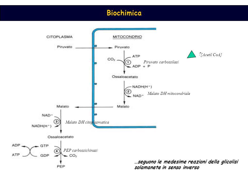 [Acetil CoA] Piruvato carbossilasi. Malato DH mitocondriale.
